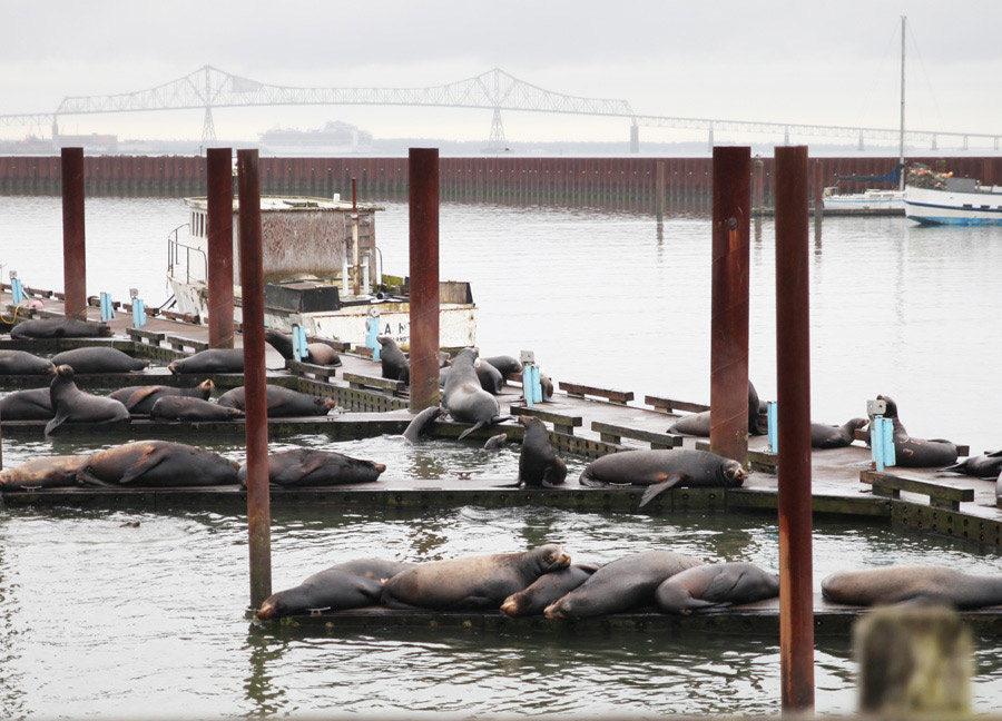 astoria_sealions_2013