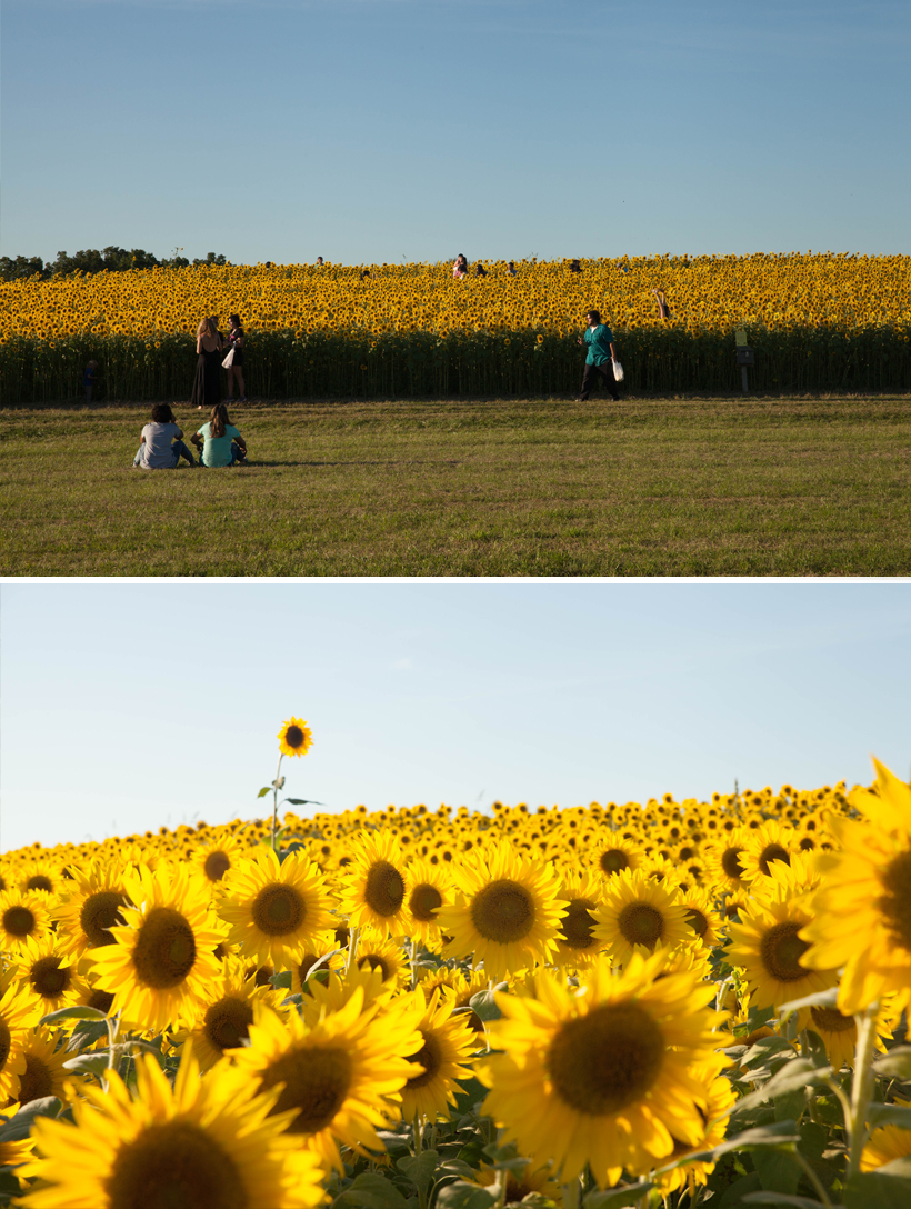 colby-farm-sunflowers-4