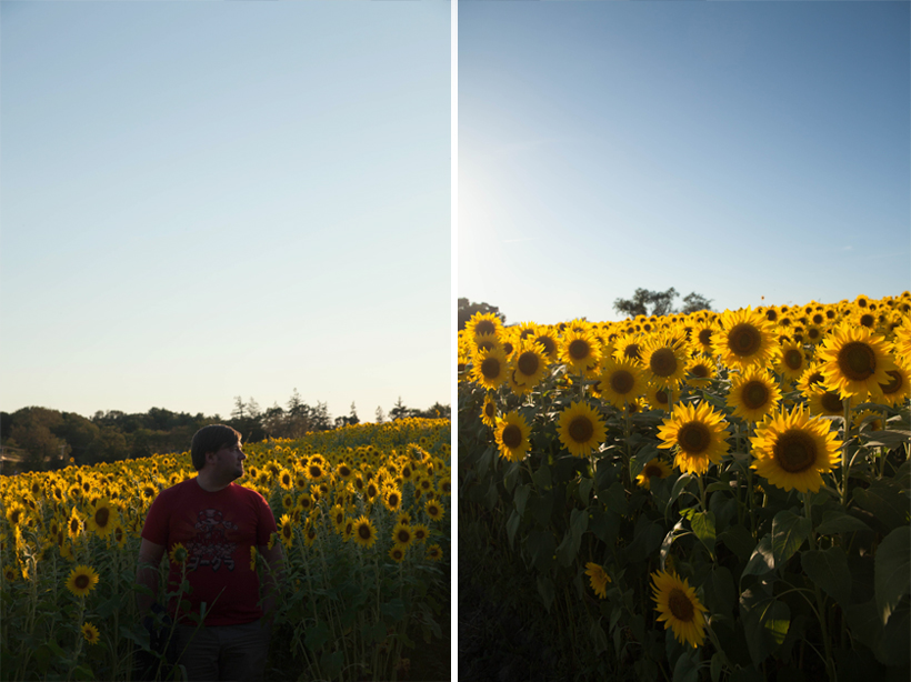 sunflowers-colby-farm-1