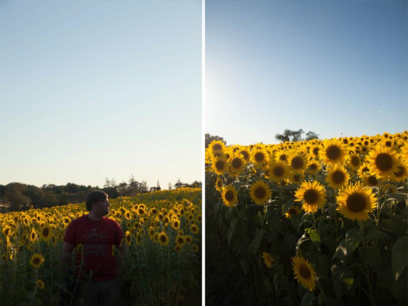 sunflowers-colby-farm-1