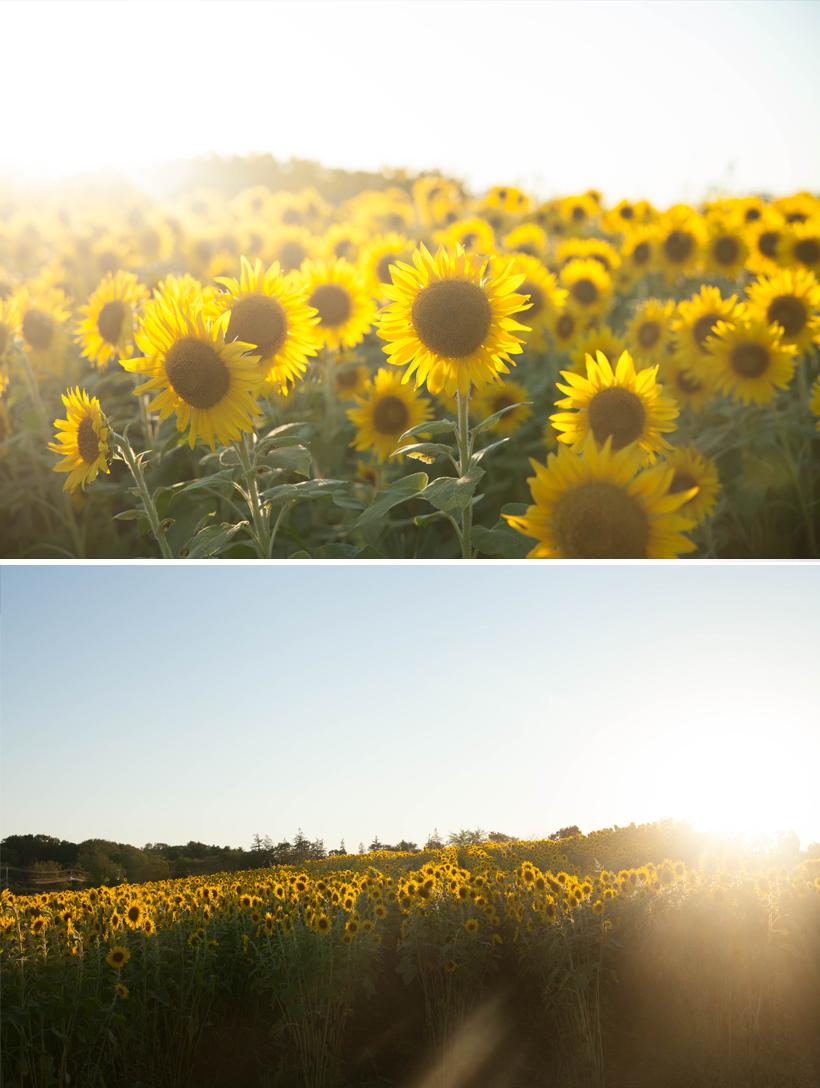 sunflowrs-colby-farm-2